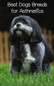 dogs 101 affenpinscher animal planet 4 best breeds of dogs for asthmatics dog doggies and animal