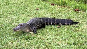 alligator in my backyard youtube