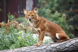 Minnesota wild animals images Minnesota zoo dhole asian wild dog minnesota zoo jpg