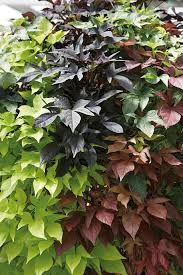 sidekick sweet potato vine monrovia sidekick sweet potato vine