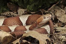 Snake Holes In Backyard How To Get Rid Of Copperhead Snakes 8 Things You Need To Know Now