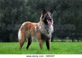belgian shepherd standard dog belgian shepherd tervuren tervueren standard stock