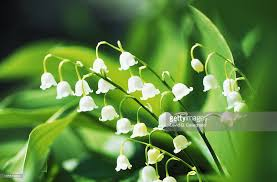 small white flowers convallaria majalis up of small white flowers of plant and