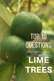 top 10 questions about lime trees gardening how s