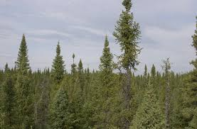 of a spruce tree study of black spruce forest means trees
