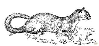 jaguarundi wild cat coloring page free printable coloring pages