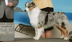 australian shepherd kennel club australian shepherd breeders louisiana