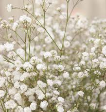 baby breath flowers how to grow gypsophila baby s breath from seeds