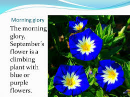 Morning Glory Climbing Plant - twelve flowers of the year ppt download