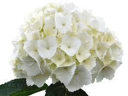 white hydrangeas white hydrangea search flugstad products