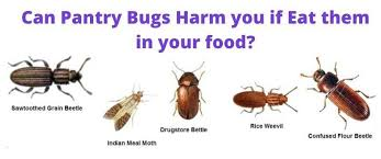 tiny brown bugs in my kitchen cabinets are pantry bugs harmful if eaten learn how to get rid of each