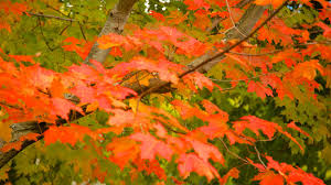Photo Gallery Northwest Pennsylvania Maple Fall Pictures View Images Of Central Pennsylvania