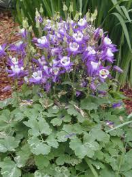 columbine plant hybrid columbine umass amherst greenhouse crops and floriculture