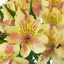 alstroemeria flower blush alstroemeria flower