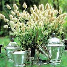 bunny tails ornamental grass 20 seeds 250 mg