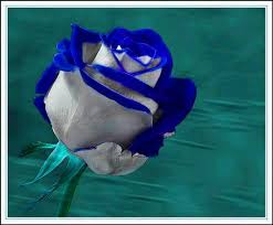 white blue roses blue white bud roses buds and flowers
