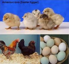 buy easter egger chickens easter eggers feathers easter and legs