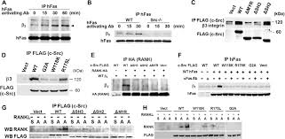 Flag Rank C Src Links A Rank αvβ3 Integrin Complex To The Osteoclast