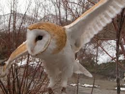 barn owl utah u0027s hogle zoo