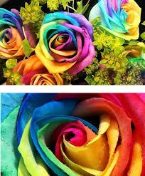 multi colored roses magical colorful rainbow flower seeds multi color plants