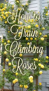 best 25 climbing roses ideas on pinterest climbing flowers