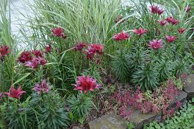 asiatic lilies deadheading asiatic lilies see dig