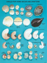 where to buy seashells importer distributor and wholesaler of seashells in florida