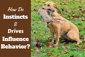 Can You Bury Animals In Your Backyard Dog Instincts And Drives How They Influence Labrador Behavior