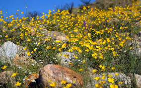 anza borrego super bloom anza borrego desert state park s 2017 super bloom is well worth the