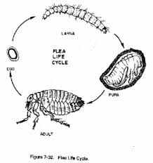 How Long Do Fleas Live In Carpet Petshed Petcyclopedia All About Fleas Life Cycle
