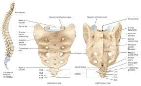 Anatomy Of Vertebral Body Sacrum Bone Anatomy Bone And Spine