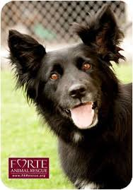 belgian sheepdog breeders in california lola adopted dog 850 marina del rey ca border collie