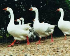 cuisiner une oie oie comment choisir et cuire sa volaille de fête