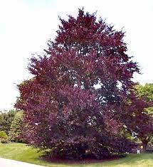 ornamental trees purple beech fagus sylvatica purpurea large
