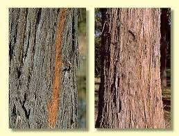 bark types in eucalypts