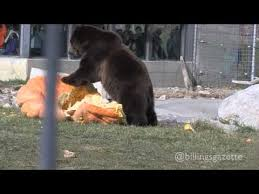 Zoomontana S Grizzly Makes Super Bowl Prediction Ktvq Com Q2 - ozzy the grizzly bear predicts super bowl xlviii download mp3 1 07