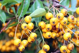 free photo autumn light bush fruit ornamental shrub max pixel