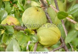 ornamental quince stock photos ornamental quince stock images