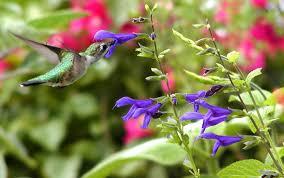 Hummingbird Plant Plants