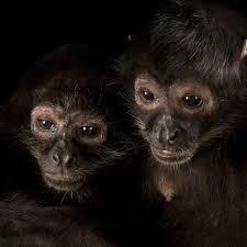 spider monkeys national geographic