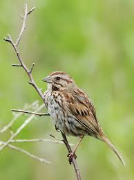 Types of birds connecticut is an eastern song sparrow a