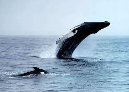 humpback whale catalogue