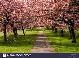pink ornamental cherry trees in blossom the stray harrogate