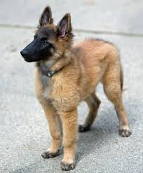 belgian shepherd how much 12 best images about belgian tervuren and shepherd breeding on