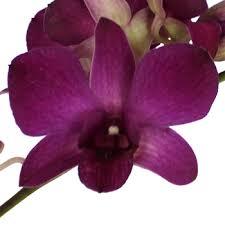 dendrobium orchids purple dendrobium orchids