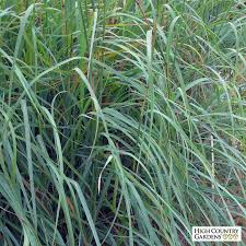 windwalker big bluestem ornamental grass 6 7 x 18 24 wide