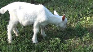 baby goat eating grass youtube