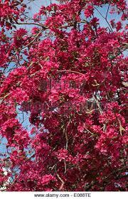 Profusion Flowering Crabapple - malus profusion stock photos u0026 malus profusion stock images alamy