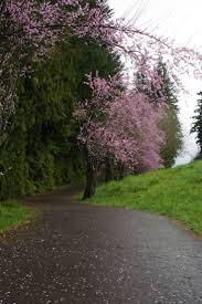 96 best cherry blossom tree images on pinterest blossom trees