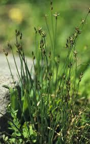 colorado native plants 325 best colorado native monocots images on pinterest colorado